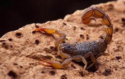 Dedetização contra escorpião funciona