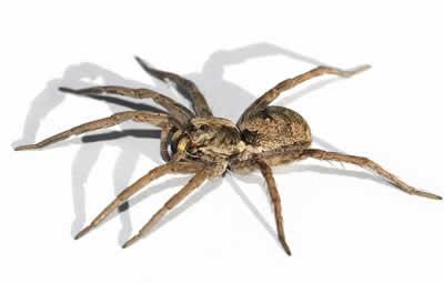dedetizar aranhas