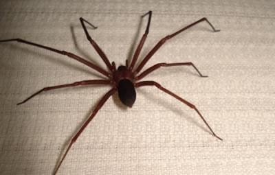 Dedetizar aranha marrom