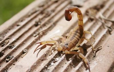 Quanto custa uma dedetização de escorpião